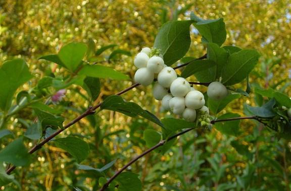 Symphoricarpos albus, Snowberry Shrub