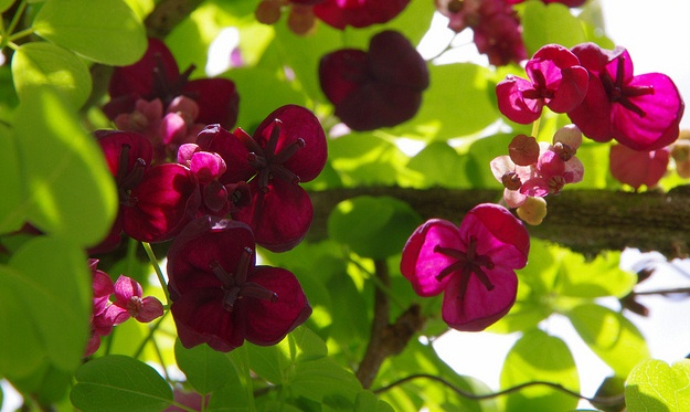 Akebia quinata, the Chocolate Vine