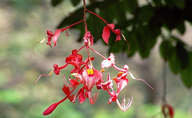 Amherstia nobilis, the Pride of Burma