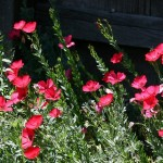 Linum grandiflorum, the Scarlet Flax