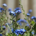 Little, Lovely Myosotis: Forget-me-not