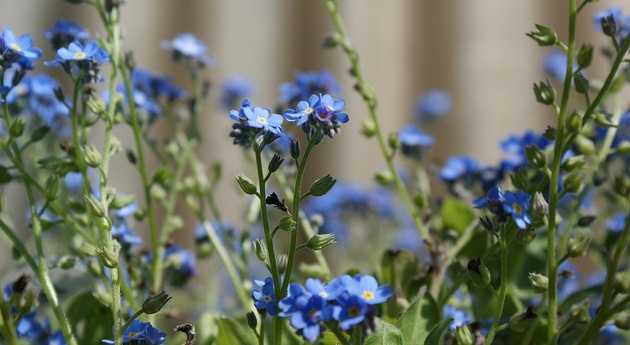 Myosotis, Forget-me-not