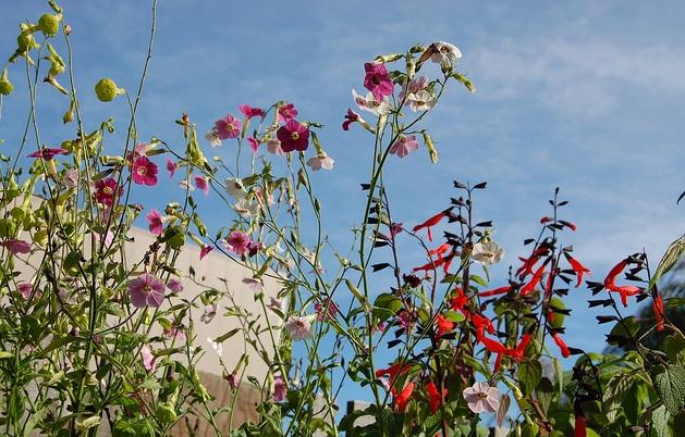 Nicotiana mutabilis, Flowering Tobacco