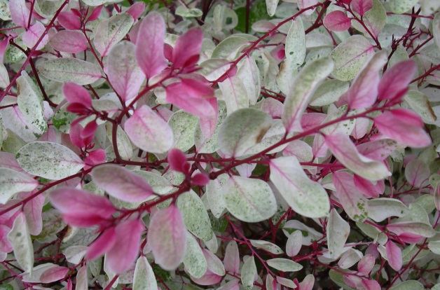 Best flowering shrub for colorful foliage: Breynia disticha