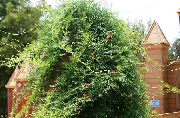 Ipomoea quamoclit,  Cypress Vine