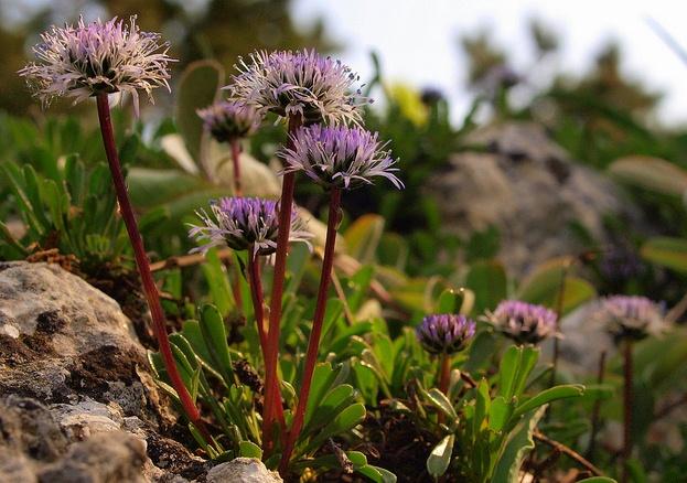 Globularia cordifolia, Globe Daisy