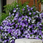 Brunfelsia pauciflora: Yesterday, Today, Tomorrow