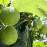Artocarpus heterophyllus: the Jackfruit tree