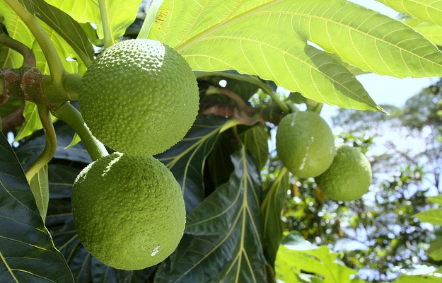 Jackfruit Tree, Artocarpus heterophyllus