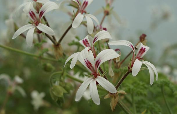 Pelargonium trifidum