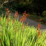 Lovely Winter Flowering Plants for Gardens: Chasmanthe