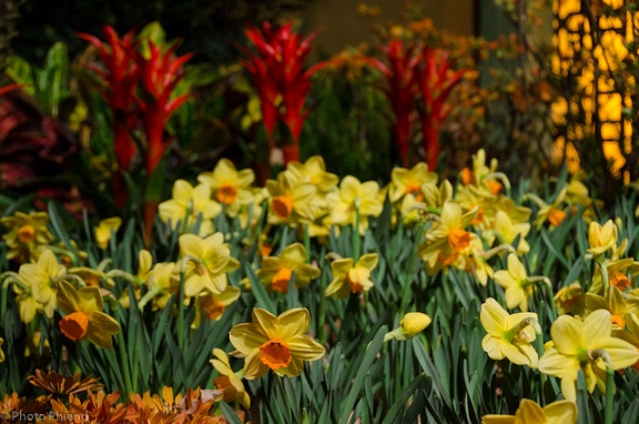 Daffodils in the Painted Garden