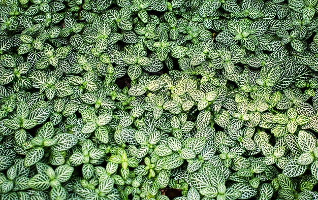 Fittonia, the Mosaic plant
