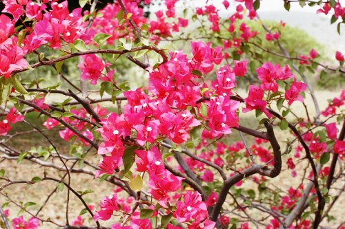 Bougainvillea shrub