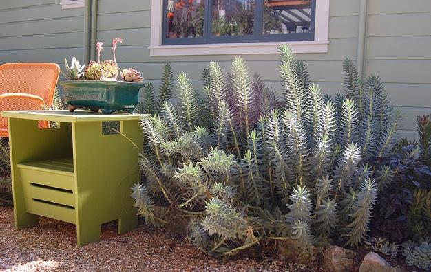 Euphorbia rigida, the Gopher Plant