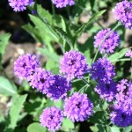 V is for Verbena