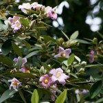 Lovely Flowering Tree for Coastal Landscape: Lagunaria patersonia