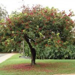 Ornamental Tree for Gardens and Landscapes: Schotia brachypetala