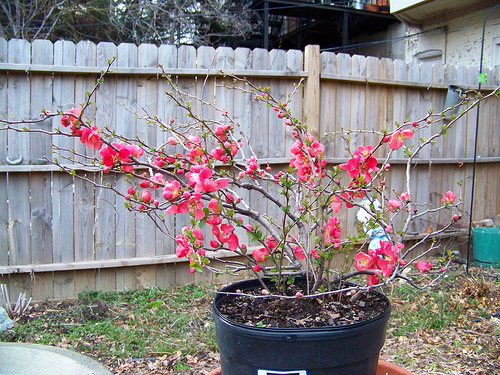 Japanese quince growing in a container