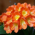 Beautiful Flowering Plants for Shady Conditions: Clivia