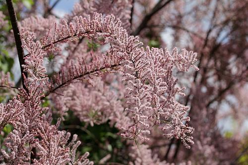Tamarix shrub