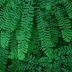 12 Hardy and Beautiful Ferns to Grow in Your Garden