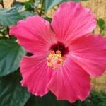 10 Lovely Flowering Varieties of Hibiscus for Your Garden