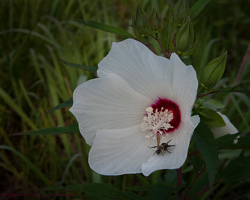 Hibiscus white flower