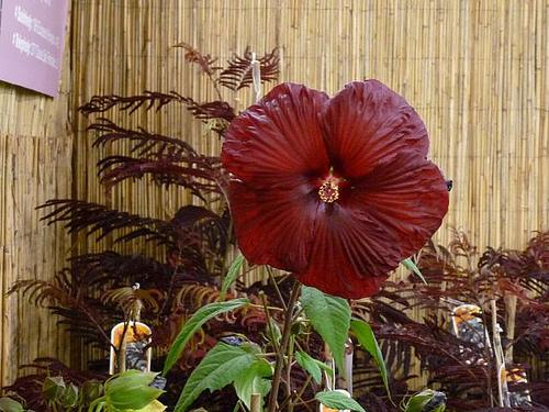 Hibiscus moscheutos 'saxon'