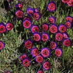 Attractive Flowering Pot Plants for the Winter: Geissorhiza