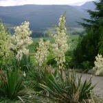 Border Plant for Low-maintenance Gardens: Yucca filamentosa