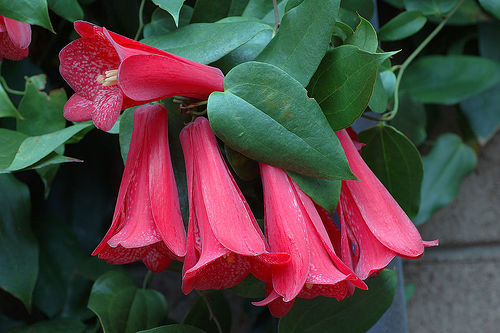 Lapageria rosea, Chilean bellflower