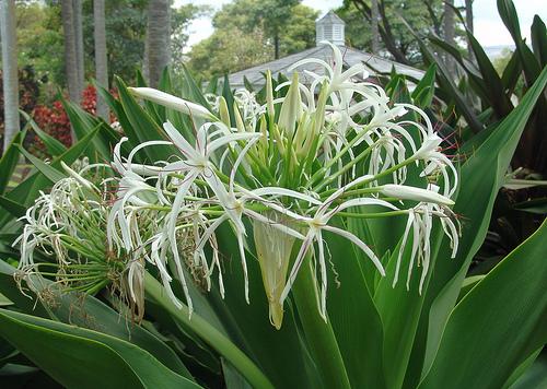 Crinum lily