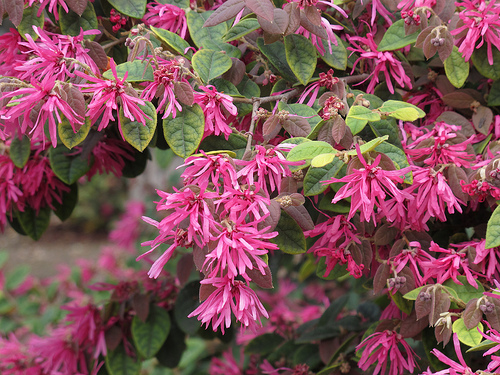 Spring flowering shrub loropetalum chinense chinese fringe flowers mightylinksfo