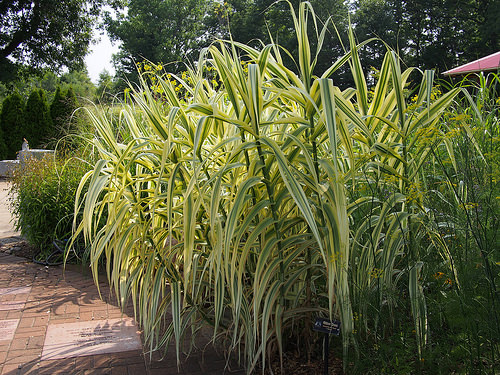 Ornamental grass for containers