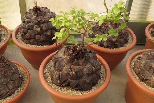 Best Specimen Plant - Dioscorea elephantipes