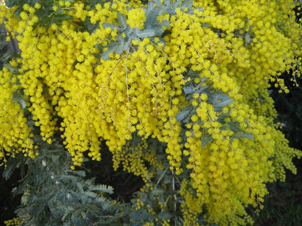 Australian Native Wattle Plant
