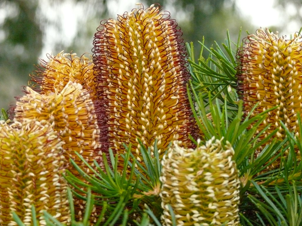 The Native Sentinel Banksia