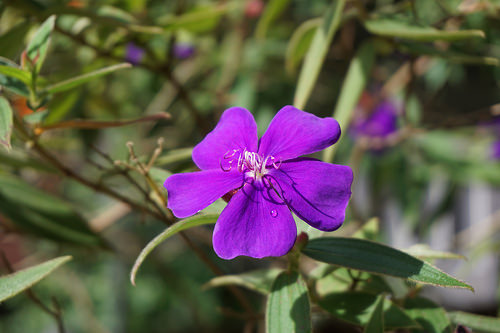 Best evergreen flowering shrub: Tibouchina urvilleana